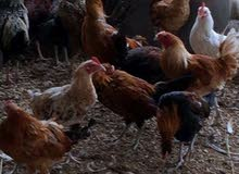 دجاج بلدي ذبح وسلخ