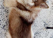 كلب هاسكي مالموت ابيور عضم ضخم لون نادر