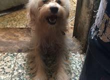 كلب للبيع السعر ب300 الف دينار