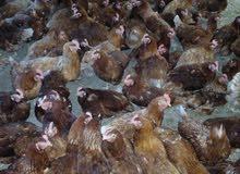 مكلف بلنشر دجاج احمر بياض