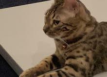 قط بنقالي