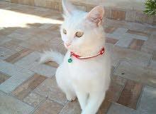 قطة انجورا  تركي  مع اولدها