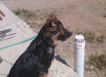كلب جيرمن شيبرد لونج هير عظم عريض ذيل للارض عمر 5 اشهر