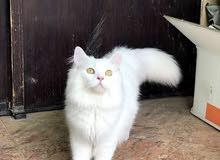 قطط شيرازيات 2