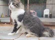 للبيع قطه شيرازي انثي عمرها 5شهور