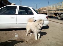 كلب سامويد جميل جداااا 300