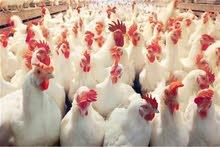 مطلوب دجاج بياض