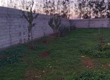 منزل في الضبعي مخطط زيتون مساحه ربع هكتار
