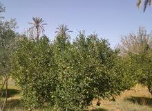 ارض فى العطايا القره بوللي مشجرة تنتج فقط 200م عن الرئيسي