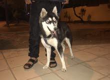 كلب هاسكي انثى عمرها 7 اشهر للبيع او البدل عجيرمن