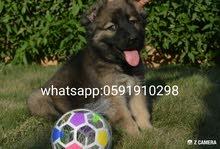 كلب جرو _ قوقازي coucasion