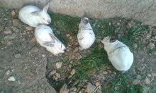 7 حبات أرانب للبيع 0777565449