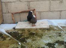 حمام للبيع  أو البدل