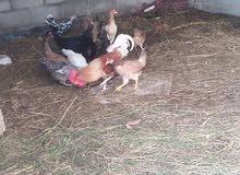 للبيع او البدل دجاج عماني كبار يبيضن معاهن ديك