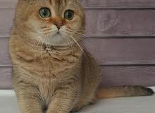 للبيع قطط  للتواصل عبر الوت ساب
