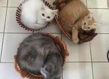 Shirazi Kitten and Mother قطط شيرازية