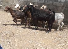 تيس عماني مال الدار للبيع