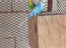 طيور بادجي او طيور الحب