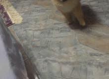 كلب بورمنينان