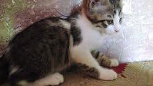 سلام عليكم قطط صغار للبيع لقاح وياهن لعوبات كلش