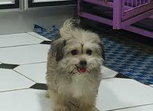 كلب ذكر شيزوا العمر شهرين وشي