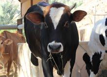 1 male 2 female cows