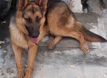 كلب حراسه عمر 8 اشهر للبيع