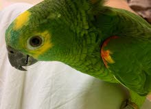 The turquoise-fronted amazon  Parrot for sale