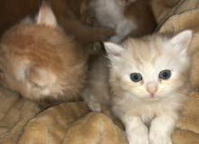 اربع قطط ذكور العمر 45 نهائي الحبه 1000