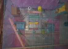 طيور لحب لبيع هنة وقفصهن عددهن 7طيور