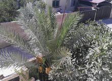 Zarqa - Used Natural and Artificial Plants available for sale