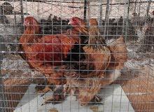 دجاج براهما مستوى فاخر