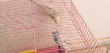 طيور بقلينو للبيع
