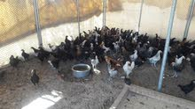 بيع دجاج عمانيه العمر 3 شهور كبار السعر حبه ريال 1 و300 بيسه مكان بهلاء بسياء