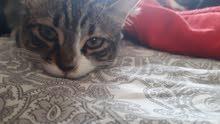 قطة للتبني عمرها 5 شهور (انثى)