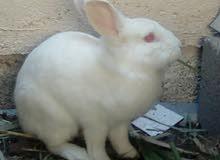 ارنب هولندي الحجم الكبير