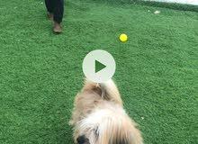 كلب زينة للبيع لعوب جدا ونضيف للبيع من فصيلة المالتيز