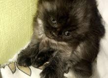قط ذكر اللون أسود عمره 3 شهور  ..