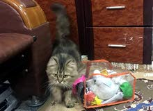 للبيع قطة سيبيري العمر 8 أشهر
