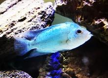 سمكة فلور هورن