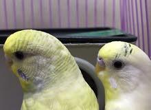 للبيع طيور البادجي هولندي زوج