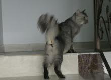 قطة شيرازية جميلة