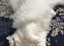 قطة تركية بيضا للبيع