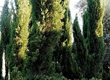أشجار سعر نار