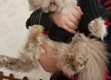 تزاوج قطط ( هيمالايا بلو بوينت )