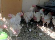 مطلوب دجاج هولندي بياض بسعر لايزيد عن ريال