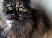انثى قطة للبيع