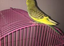 طيور بادجي أليفـة
