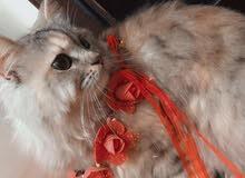 قطه شانشيلا للتبني