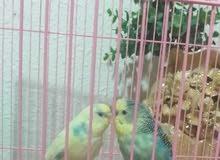 جوز بادجي l/طيور الحب .. Budgies/Love Birds Pair